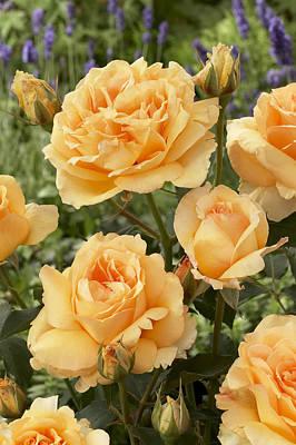 Rosaceae Photograph - Rose Rosa Sp Solo Mio Renaissance by VisionsPictures