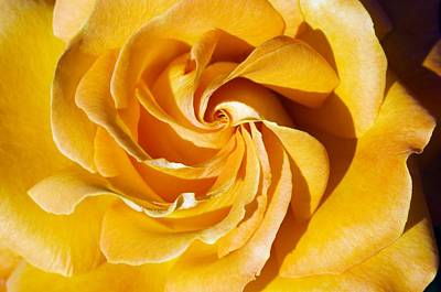 Floribunda Photograph - Rose (rosa 'tatton') by Georgette Douwma