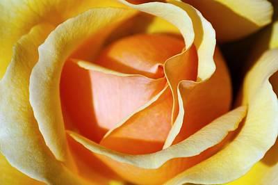 Floribunda Photograph - Rose (rosa 'wandering Minstrel') by Georgette Douwma