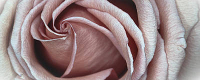 Photograph - Rose by Ryan Heffron