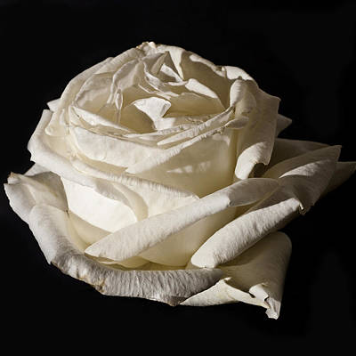 Flora Photograph - Rose Silver Anniversary by Steve Purnell