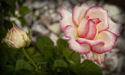 Photograph - Rose With Bud by Barbara Middleton
