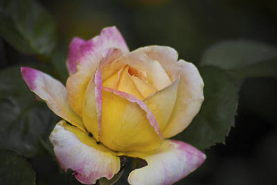 Photograph - Rose With Pink Tips by Jason Pryor