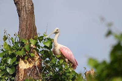 Photograph - Roseate Spoonbill by Jeanne Andrews