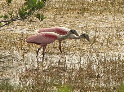 Photograph - Roseate Spoonbills by Keith Stokes