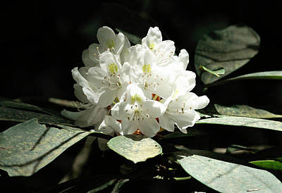 Photograph - Rosebay Rhododendron by Larry Parker