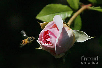 Rosebud Bee Original