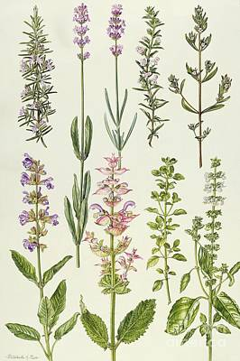 Rosemary And Other Herbs Print by Elizabeth Rice