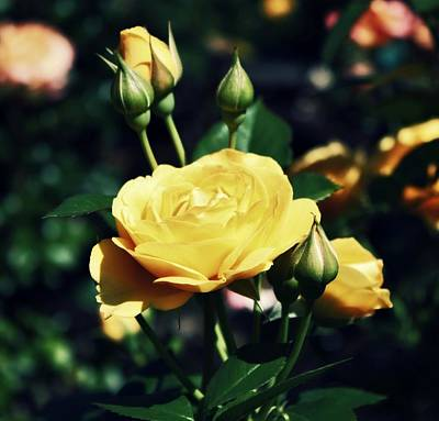 Yellow Rosebud Photograph - Roses by Cathie Tyler