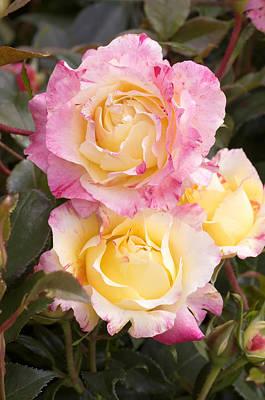 Roses (rosa 'camille Pissaro') Art Print by Adrian Thomas