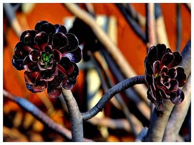 Photograph - Rosettes Calling by Frank Wickham