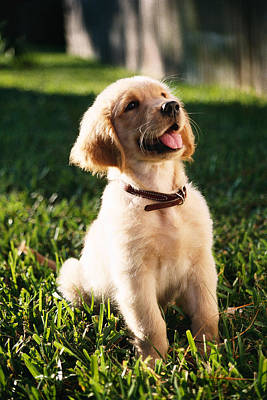 Golden Retriever Photograph - Rosie Golden Puppy by Stan Fellerman
