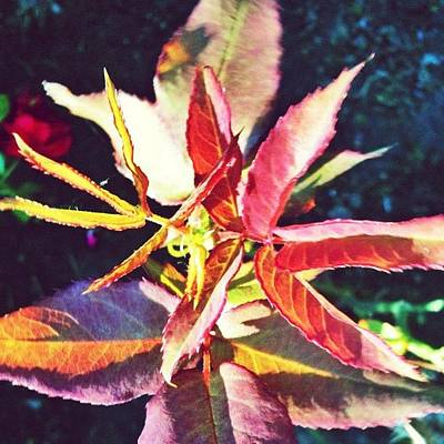 Apple Wall Art - Photograph - Rosy Glow - Rose Leaves Afternoon Light by Anna Porter