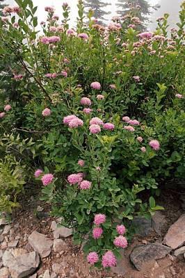 Rosy Spirea (spiraea Splendens) Art Print by Bob Gibbons