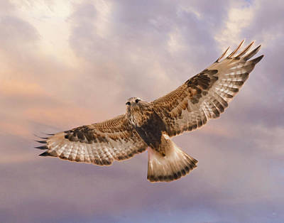 Rough Legged Hawk Art Print