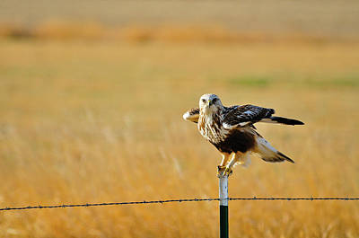 Nature Photograph - Rough Legged Hawk by Greg Norrell