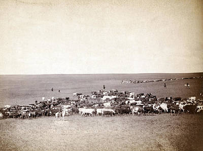 Cattle Drive Photograph - Round-up Scenes On Belle Fourche by Everett