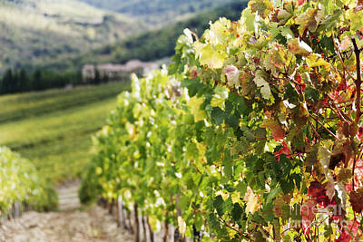 Grape Leaves Photograph - Row Of Grapevines In Vineyard by Jeremy Woodhouse