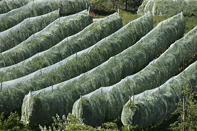 Netting Photograph - Rows Of Apple Trees Covered by Stephen Sharnoff