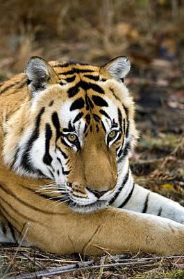 Royal Bengal Tiger Photograph - Royal Bengal Tiger by Tony Camacho