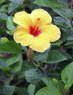 Art Print featuring the photograph Royal Hibiscus by Craig Wood