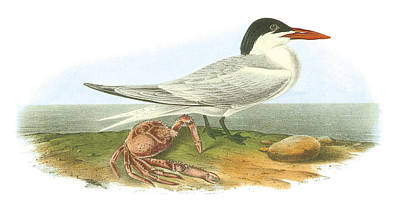 North Sea Painting - Royal Tern by John James Audubon