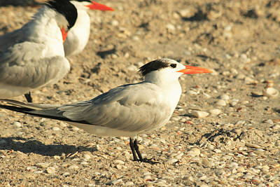 Photograph - Royal Terns 2 by Roger Soule