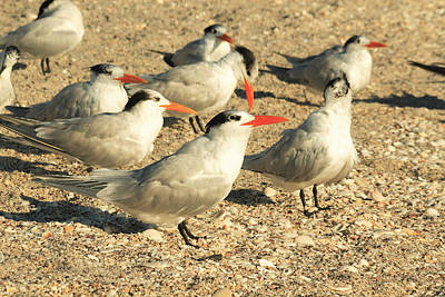 Photograph - Royal Terns by Roger Soule