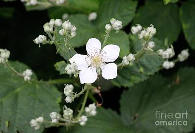 Photograph - Rubus by Erica Hanel
