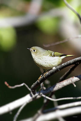 Ruby-crowned Kinglet Birds Photograph - Ruby Crown Kinglet by Steven Llorca