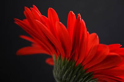 Gerber Daisy Photograph - Ruby Red by Melanie Moraga