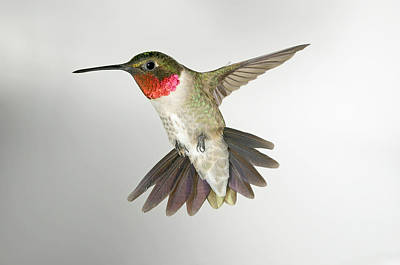 Ruby Throat Hummingbird Art Print by Gregory Scott