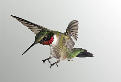 Photograph - Ruby Throat Landing by Gregory Scott