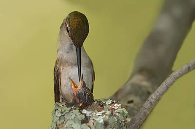 Photograph - Ruby-throated Feeding by Dale J Martin