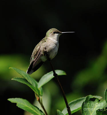 Ruby-throated Hummingbird Female Art Print