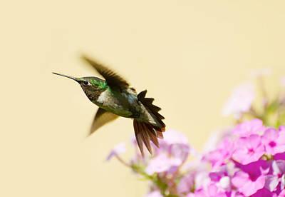 Ruby Throated Hummingbird. Art Print by Kelly Nelson