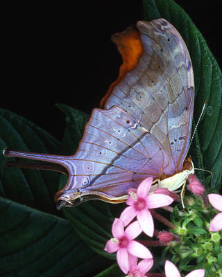Photograph - Ruddy Daggerwin Butterfly by Donald Gaudiomnte