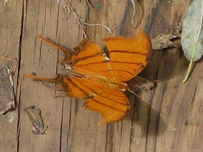 Photograph - Ruddy Daggerwing by Peggy King