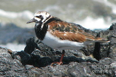 Photograph - Ruddy Turnstone by Frank Townsley