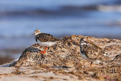 Ruddy Turnstone  Art Print by Jennifer Zelik