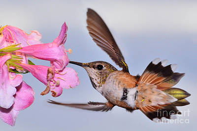 Art Print featuring the photograph Rufous And Flowers by Jack Moskovita