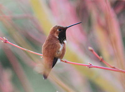 Rufous Wall Art - Photograph - Rufous Hummingbird 3 by Angie Vogel