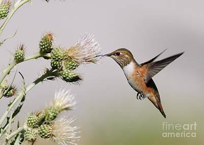 Rufous Hummingbird Art Print by Doug Herr
