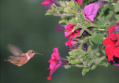 Photograph - Rufous Hummingbird by Jan Piet