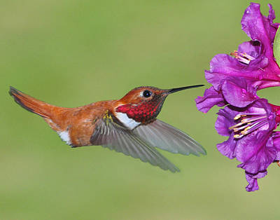Art Print featuring the photograph Rufous N Blooms by Jack Moskovita