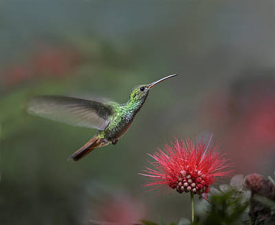 Amazilia Photograph - Rufous Tailed Hummingbird At Fairy by Tim Fitzharris