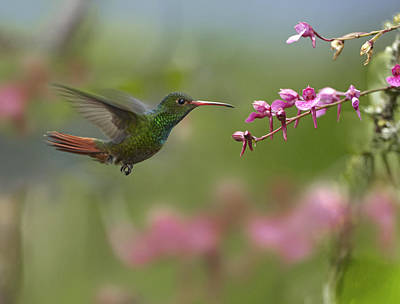 Amazilia Photograph - Rufous Tailed Hummingbird Hovering by Tim Fitzharris