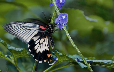 Photograph - Rumanzovia Swallowtail-papilio Rumanzovia Female by Robin Webster