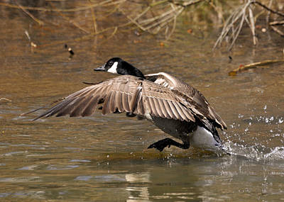 Running Atop The Water Canada Goose  - C2660a Art Print by Paul Lyndon Phillips
