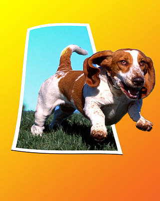 Out Of Frame Photograph - Running Beagle by Anthony Caruso